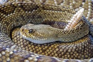 Ular, bisa ular, tips digigt ular
