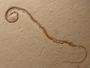 Tetrapodophis amplectus, ular berkaki, ular