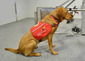 Kanker Prostat, anjing, Charity Medical Detection Dogs,