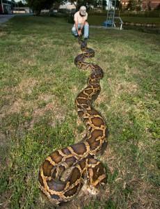 Ular Piton Burma, ular raksasa, ular terpanjang