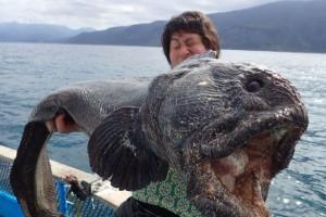Ikan raksasa, Fukushima, jepang, wolffish