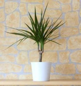 Pohon Naga Madagaskar, tanaman hias, tanaman sehat