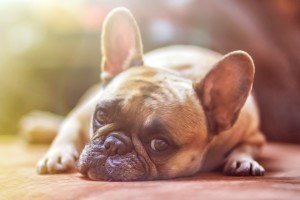 Anjing , makanan Anjing , makanan berbahaya