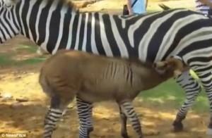 Zedonk, zebra, keledai, china