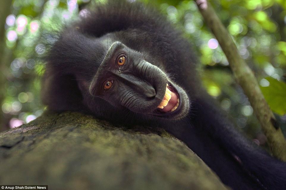 #Saveyaki, yaki, Taman Nasional Tangkoko, Anup Shah,