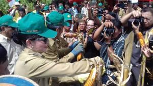 Bupati Minsel Tanam dan Panen Jagung Hibrida di Perkebunan Luak Desa Tewasen