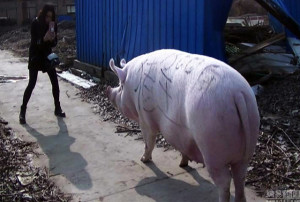 Pig King, Babi Raksasa,  Zhengzhou, Henan