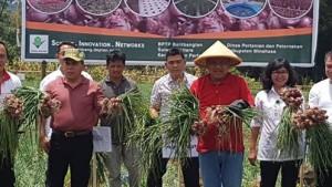 eksekutif handal Sulawesi Utara , bawang merah minahasa, bawang merah Lansuna,