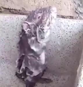 Tikus , tikus mandi, video Tikus mandi, Huaraz