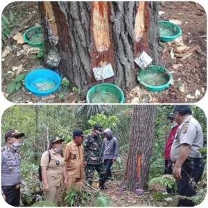 KPA Mitra Minta Usut Pencurian Geta Pohon Pinus di Kawasan Gunung Soputan