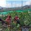 Bupati Minahasa Bersama 4.800 Orang Angkat Eceng Gondok dari Danau Tondano
